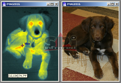 razir thermal image of dog lab canine (k9)